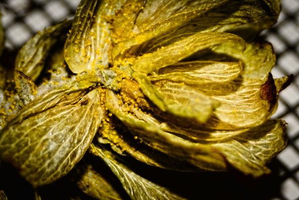 Tørret humle med lupulin